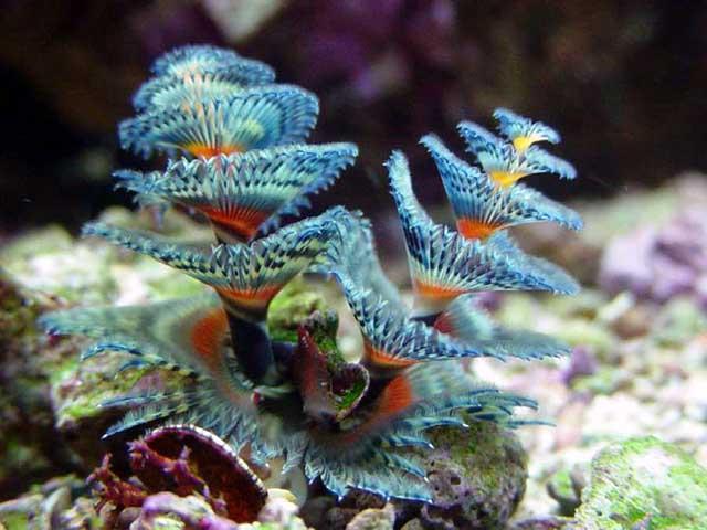 Christmas Tree Worm.O Christmas Tree Worm O Christmas Tree Worm Marine Madness
