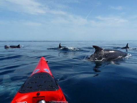 Dolphins swim near tourists in the Sound