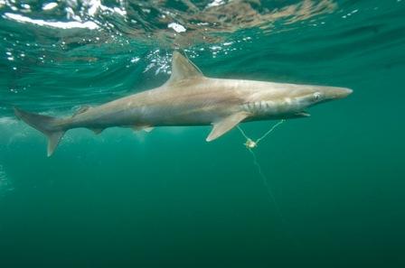 Pacific Sharpnose Shark Longline