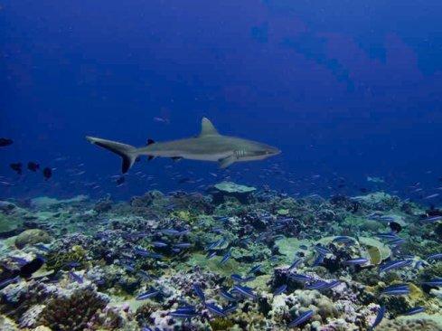 Grey reef shark_credit Katie Davis