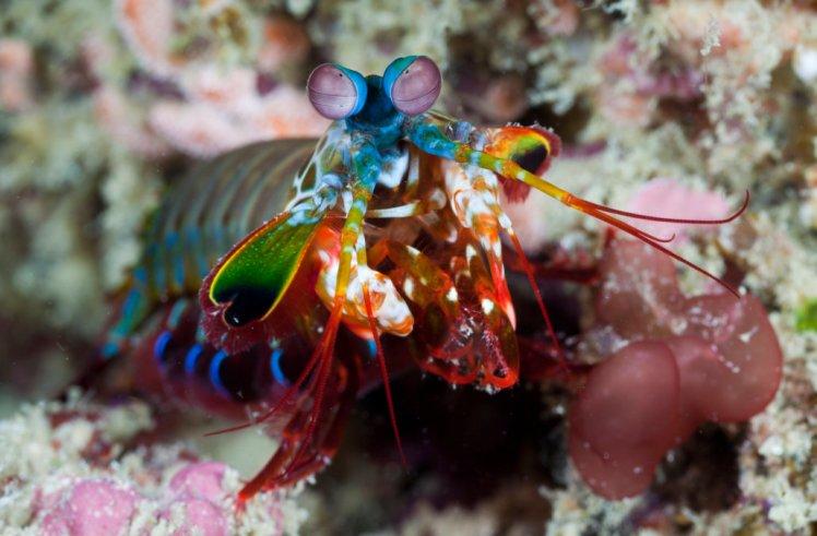 Mantis Shrimp, Odontodactylus scyllarus, Raja Ampat, West Papua, Indonesia