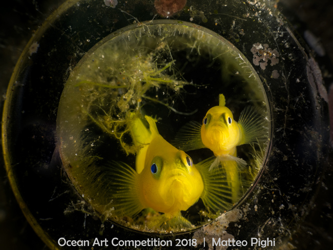 Yellow Gobies in a Bottle