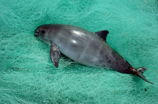 Vaquita or Gulf of California Harbor porpoise, Mexico