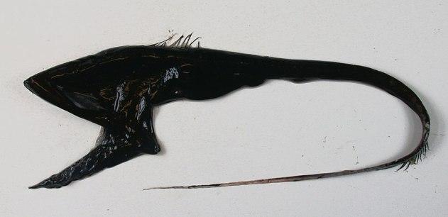 gulper eel specimen