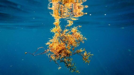 sargassum