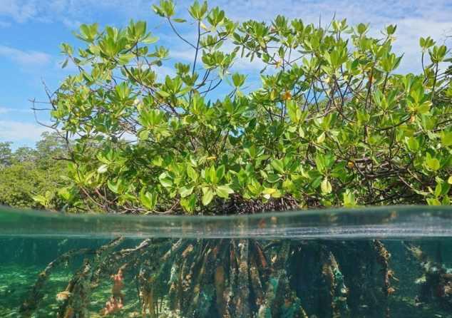 mangrove bush
