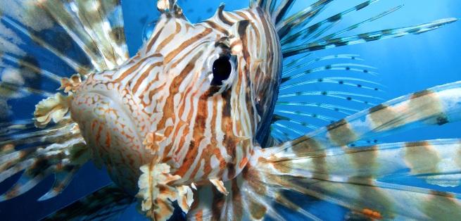 Lionfish upclose
