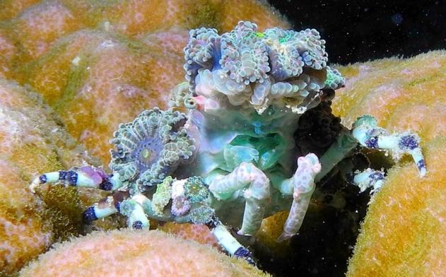 corallimorph-crab.jpg