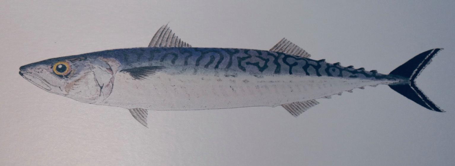 Mackerel III