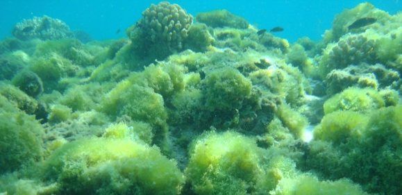 algal reef
