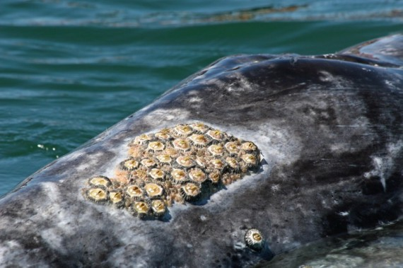 Gray whale barnacles