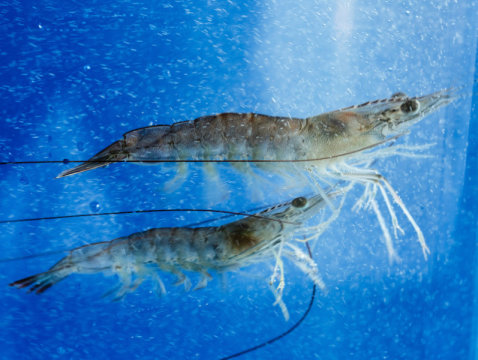 shrimp swimming