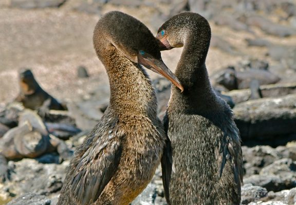 Cormorant mates