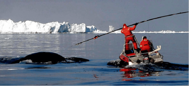 tagging bowhead whale