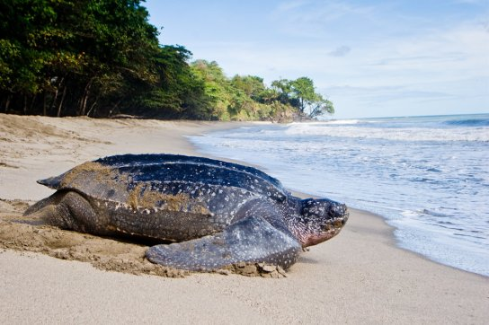 leatherback returning to sea