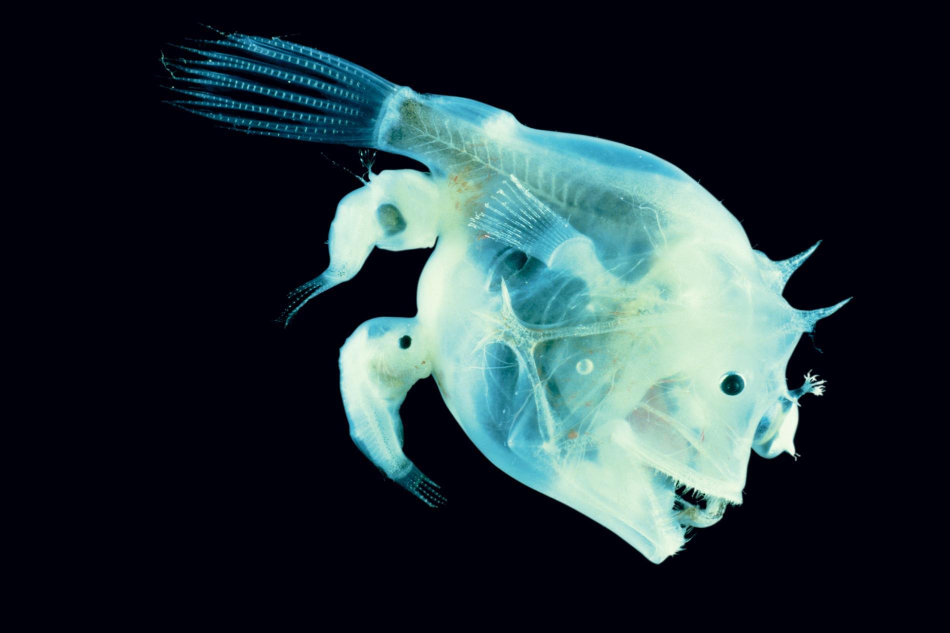 Unholy matrimony: the nightmarish sex lives of anglerfish – Marine Madness
