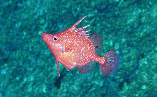 Hawaiin spinefish