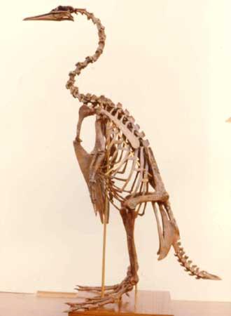 plotopterid skeleton