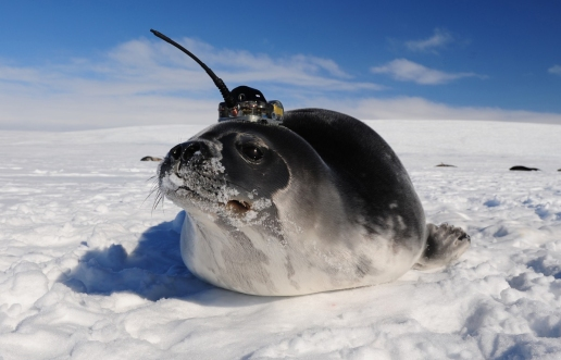 satellite tagged seal