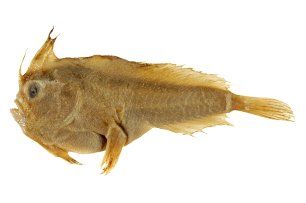 smooth handfish holotype
