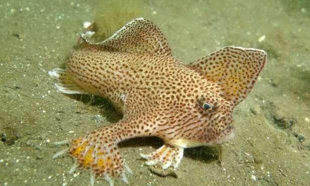 spotted handfish 2