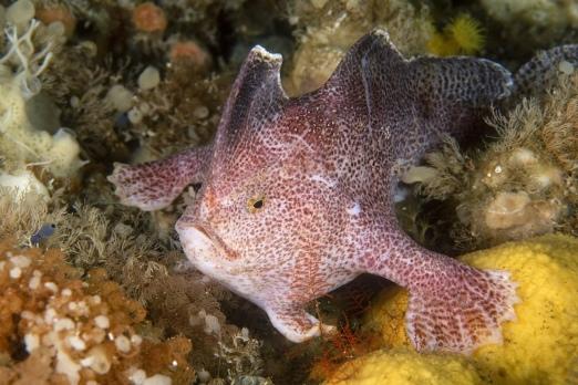 Ziebell's handfish